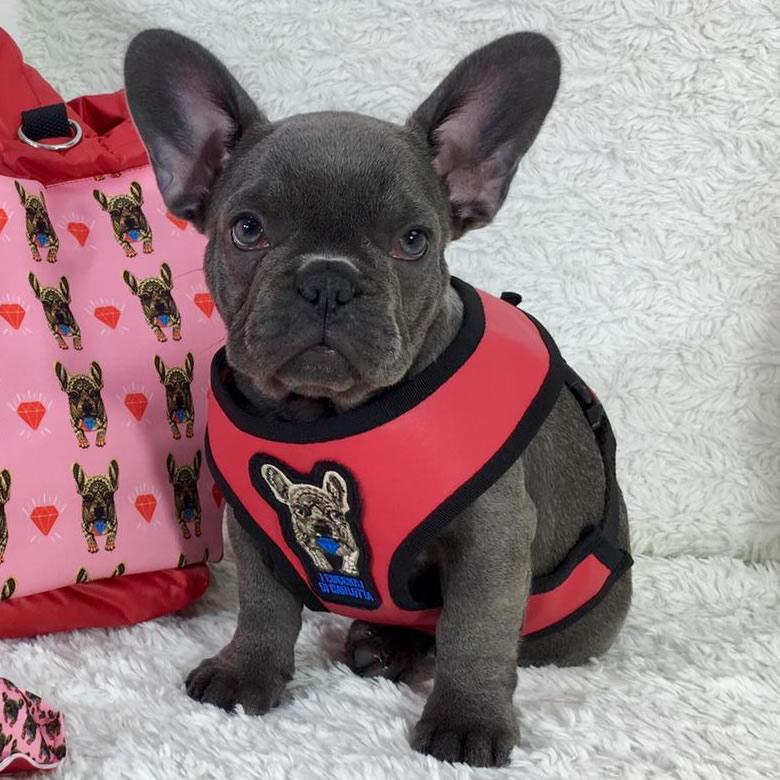 Cucciolo bulldog francese blu con occhi azzurri con pettorina rosso-rosa