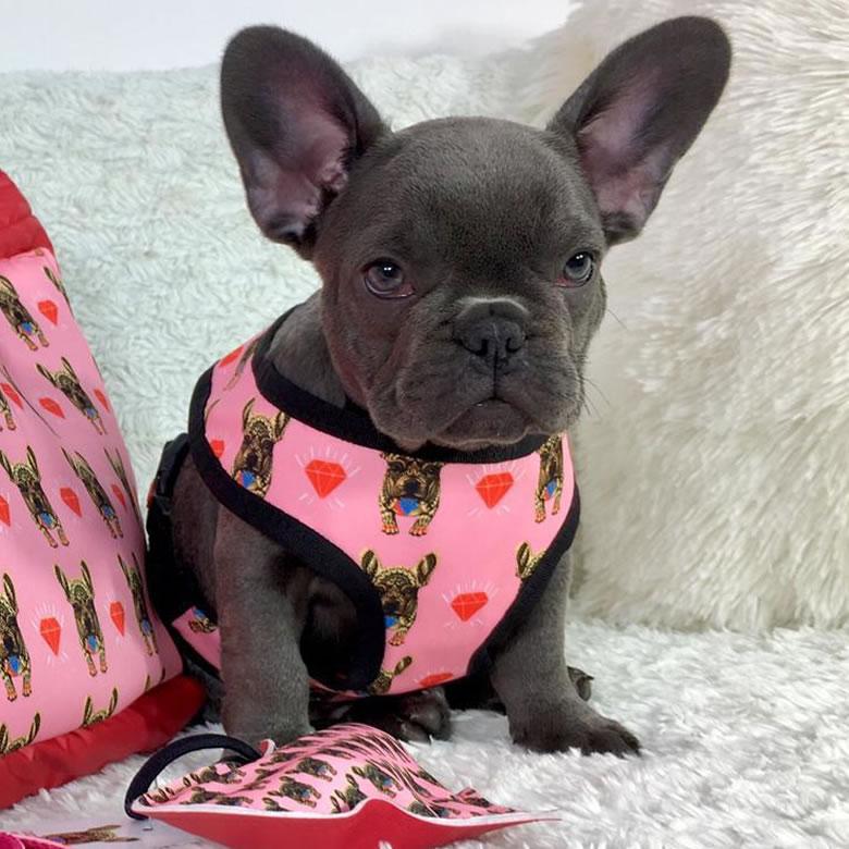 Cucciolo bulldog francese blu con pettorina rosso-rosa