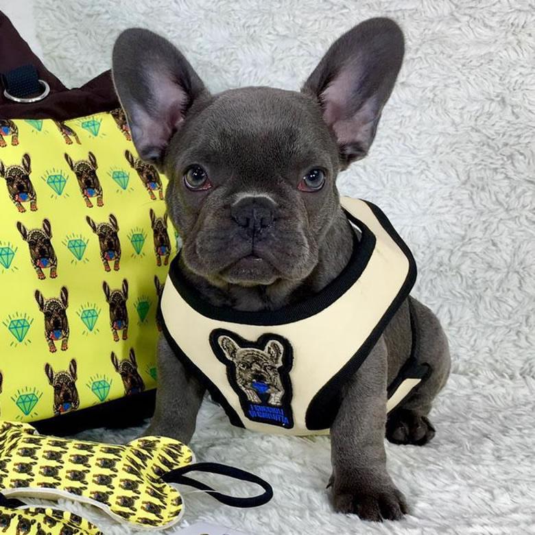 allevamento bulldog francese blu con pettorina per cani di piccola taglia e bulldog francesi-cuccioli gialla